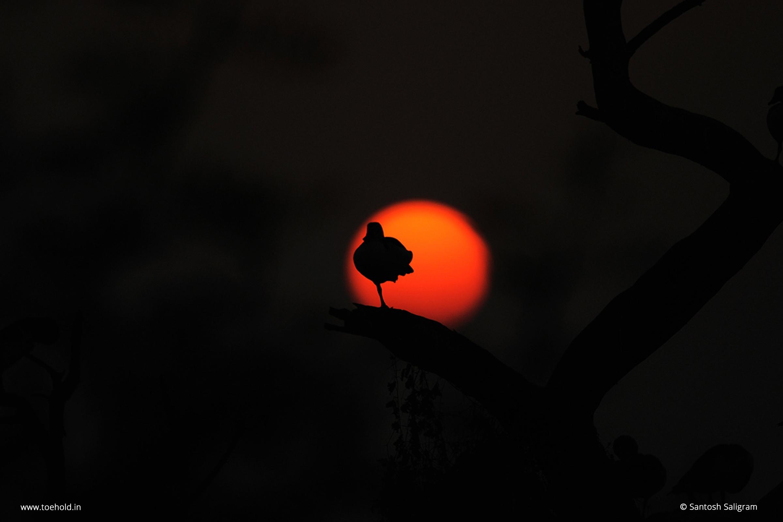 5 comb duck sun disc silhouette bharatpur santosh 2021