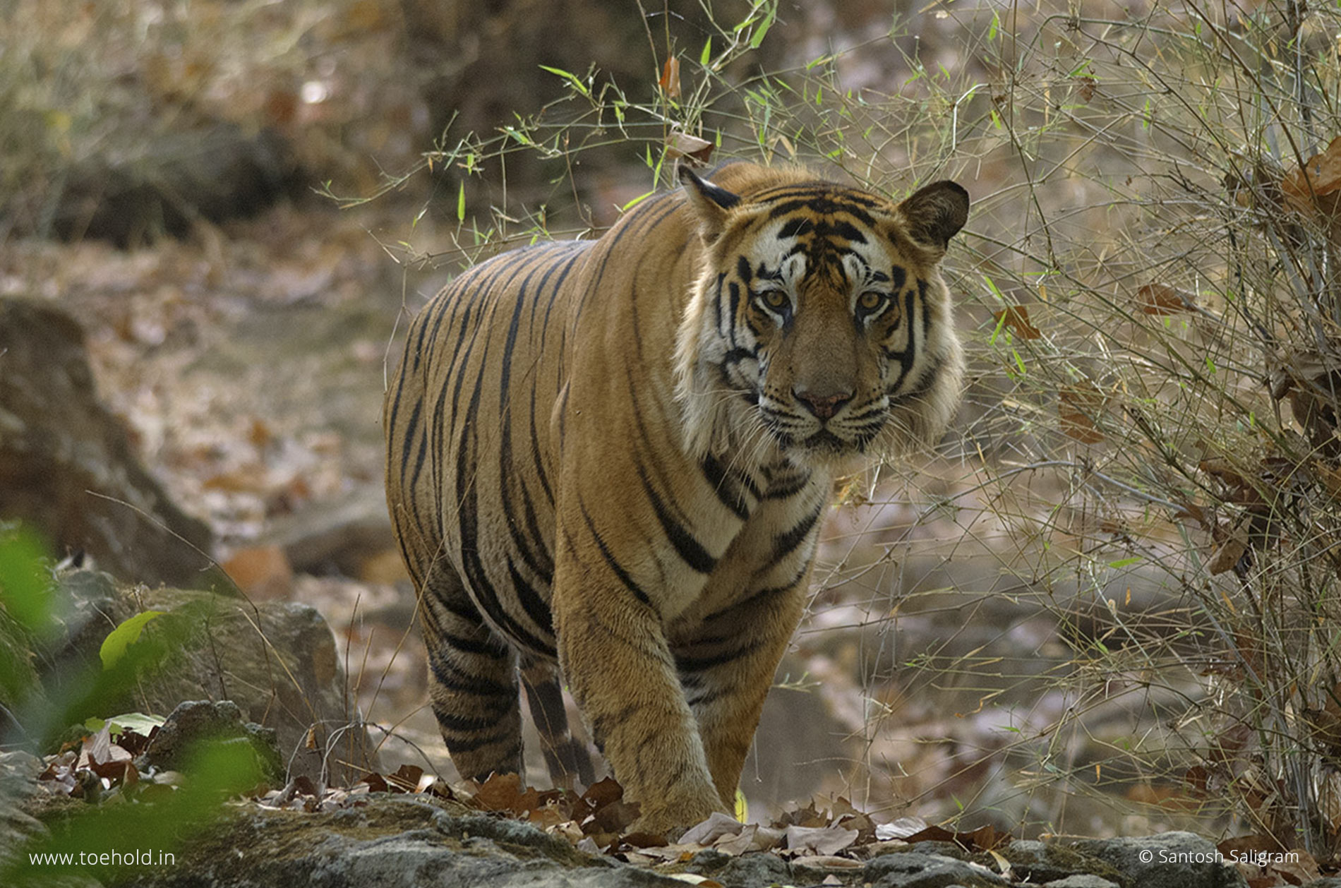 bamera junior closeup bandhavgarh 2021