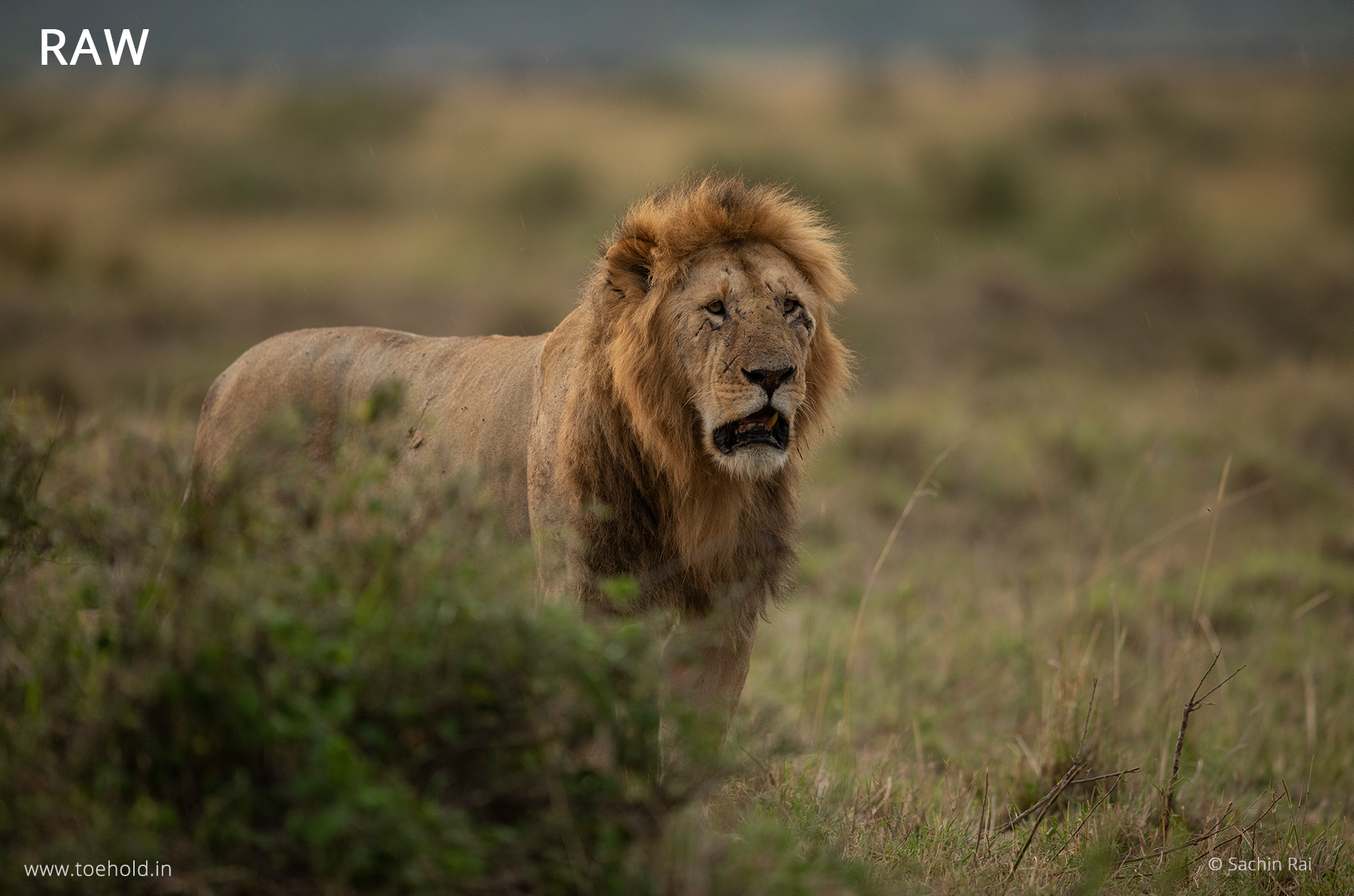 lion-masai-mara-raw
