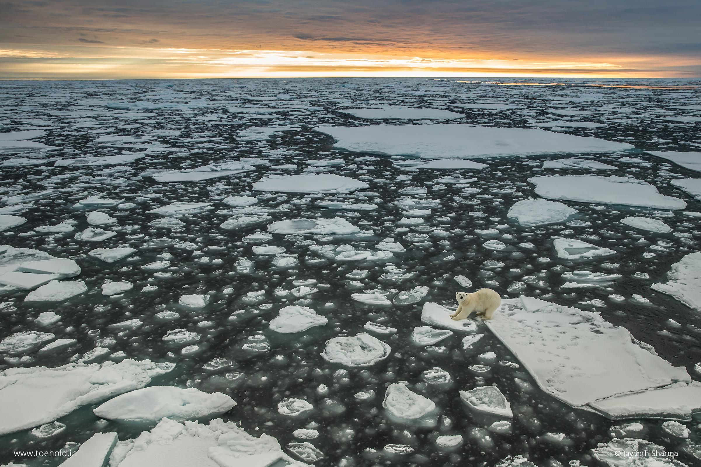 polar bear svalbard 2 2021