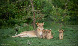 Lioness Cubs, Kenya
