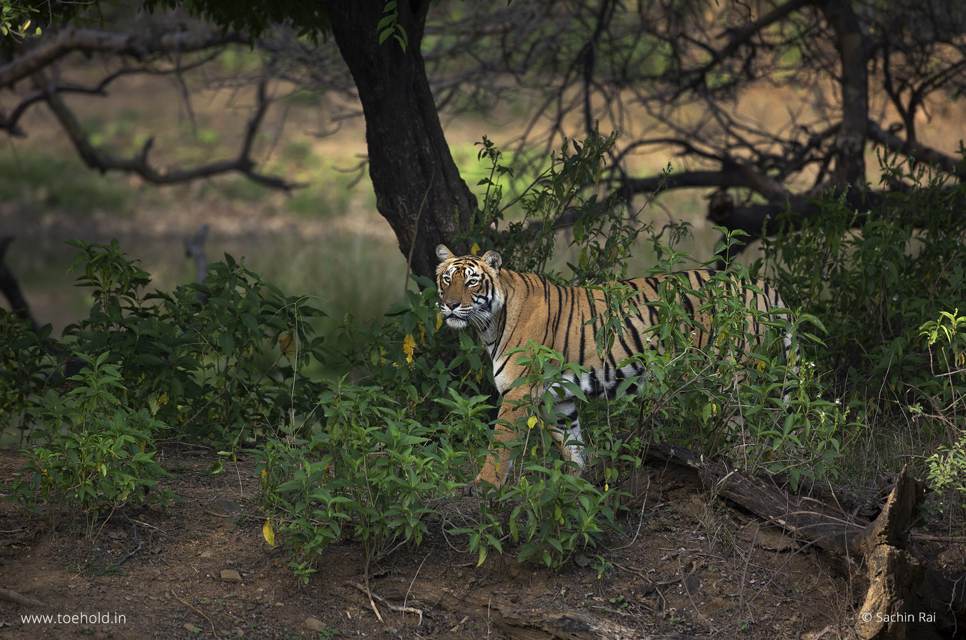 tiger by a water body ranthambhore 2021