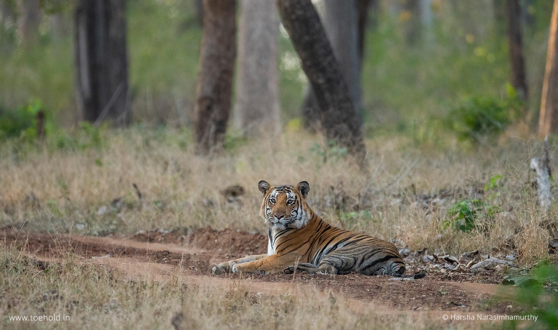 Tiger, Kabini