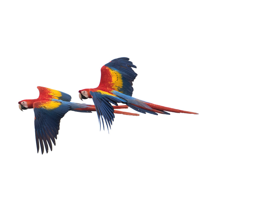 macaws-white-bg
