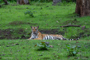 Tiger in Kabini