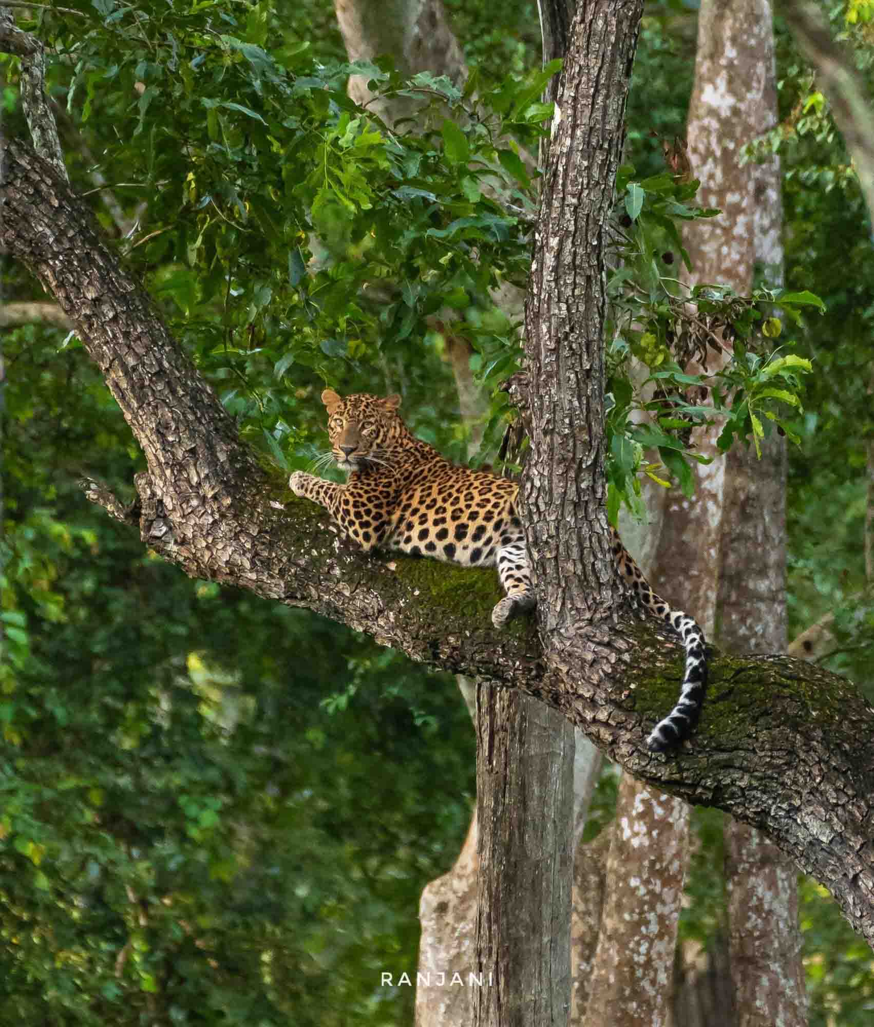 Leopard on a tree, Kabini